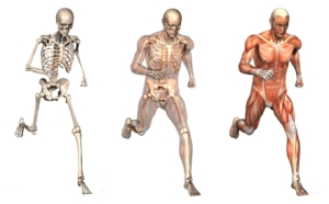skeleton_run_muscle